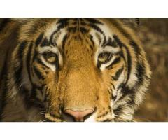 Tadoba Jungle Safari Booking
